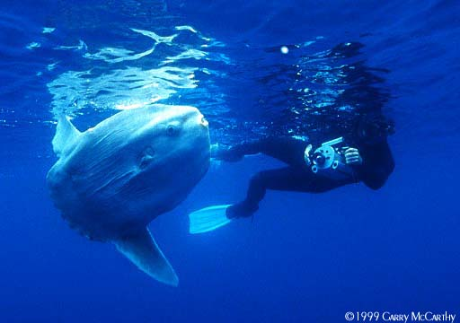 underwater-photos.com - Featured Photo No. 41 - Ocean Sunfish ...