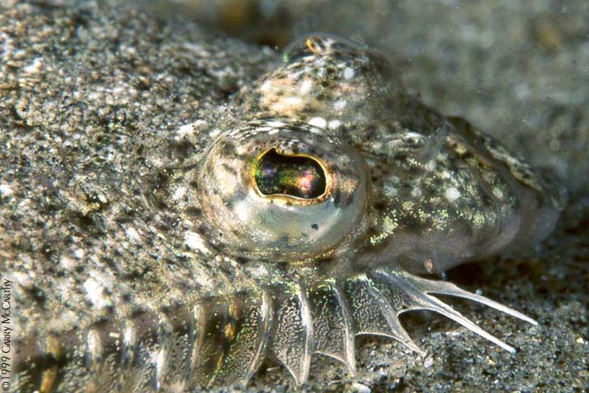 Speckled Sanddab